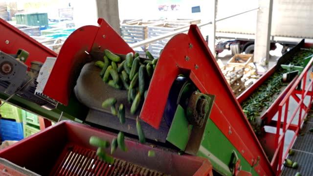 vídeos y material grabado en eventos de stock de planta de procesamiento de pepino - pepino