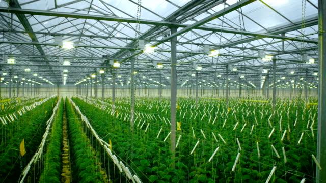 Cucumbers Growing In Modern Greenhouse video