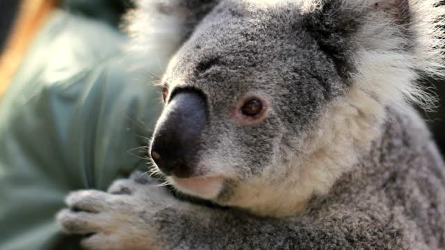 Cuddling Koala video