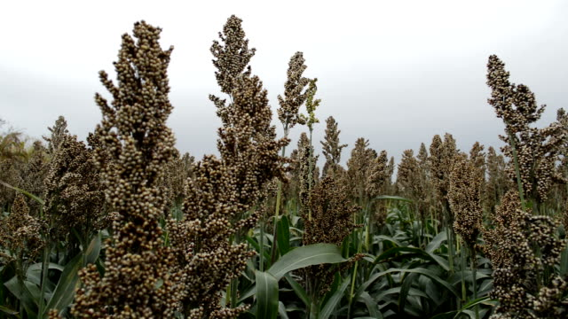Cultivated sorghum field Field of sorghum. Sorghum plant cultivated and used for food for animals and humans, and for ethanol production and biofuel monoculture stock videos & royalty-free footage