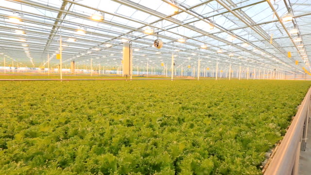 Cultivation of green hydroponically video