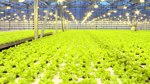 Cultivation of greens and vegetables in a greenhouse.Agriculture.