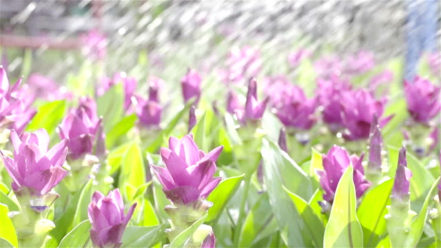 Curcuma flower in field