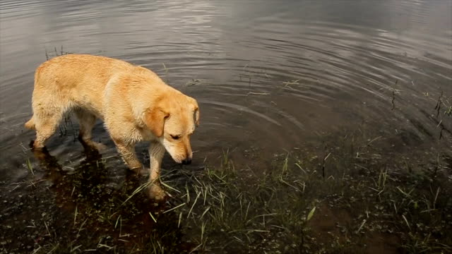 Curiosity dog in the lake,eating water grass video