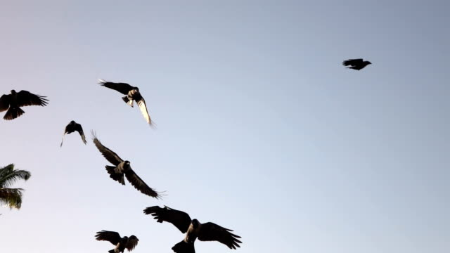 CLOSE UP: Curious adorable crows flying in big flock near lush palm tree canopy video