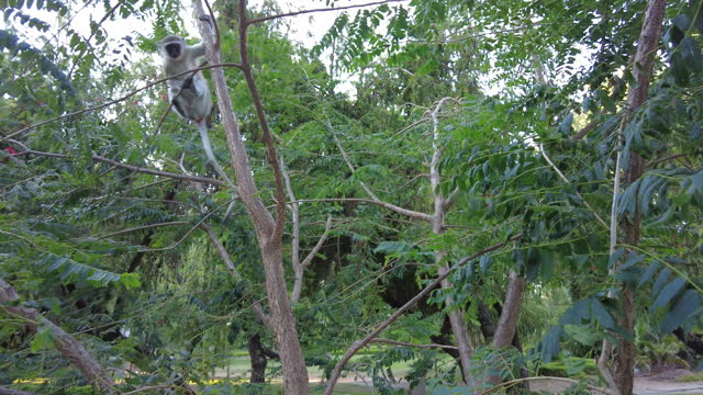 Curious and Cautious  Vervet Monkeys in a tree