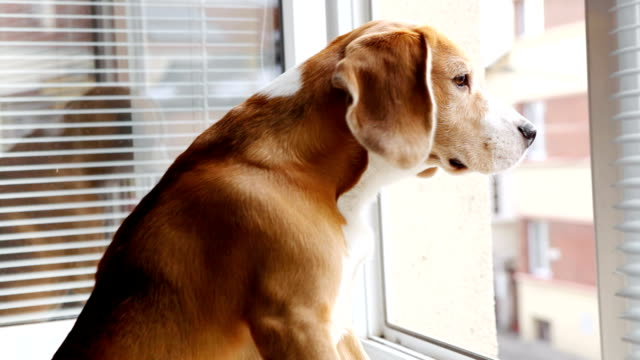 Curious beagle sitting on windowsill and looking out window sniffing