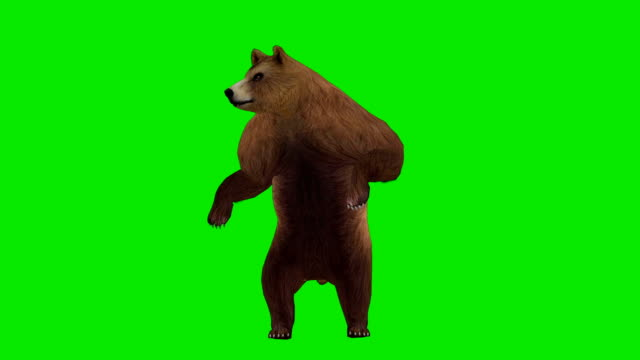 curious bear green screen (loopable) - bear stock videos and b-roll footage