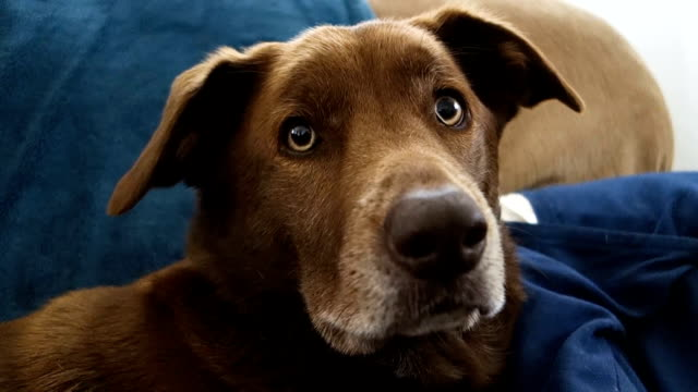 Curious Brown Dog Sits on Sofa Looking at Camera with Ears Up video
