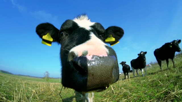 Curious Calf video