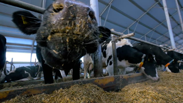 Curious dairy cow looking into camera. Extreme close up.