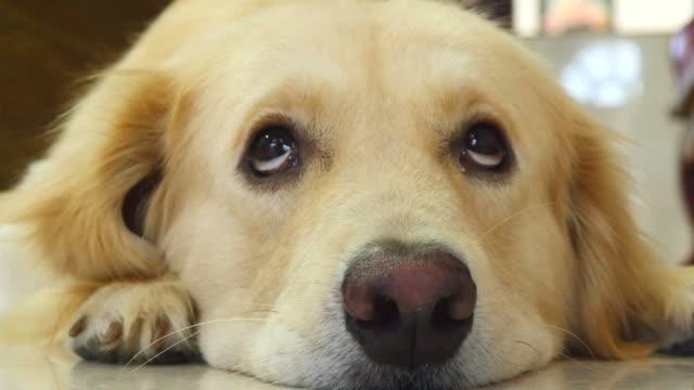 ciekawski twarz golden retriever pies - nuda filmów i materiałów b-roll