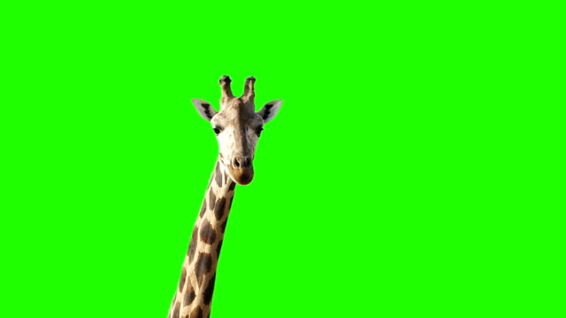 A curious giraffe looking at the camera on green screen.