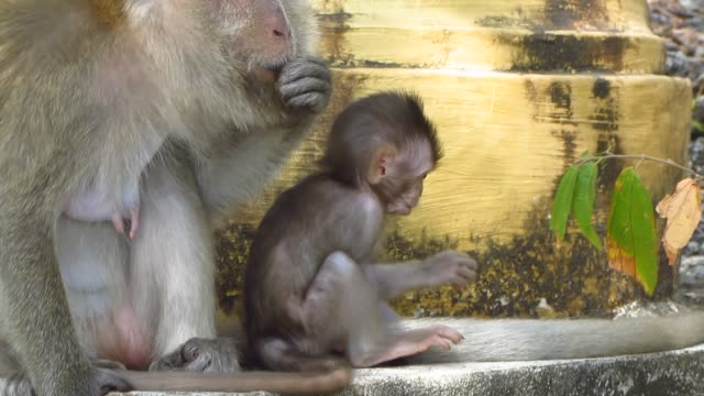 Curious Infant Monkey With Mother video