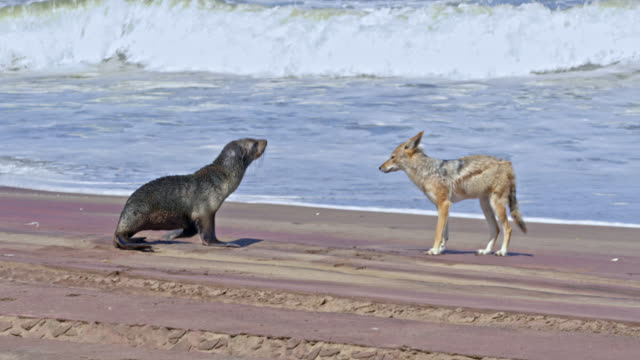 MS Curious jackal approaching brown fur seal on sunny beach,Namibia,Africa