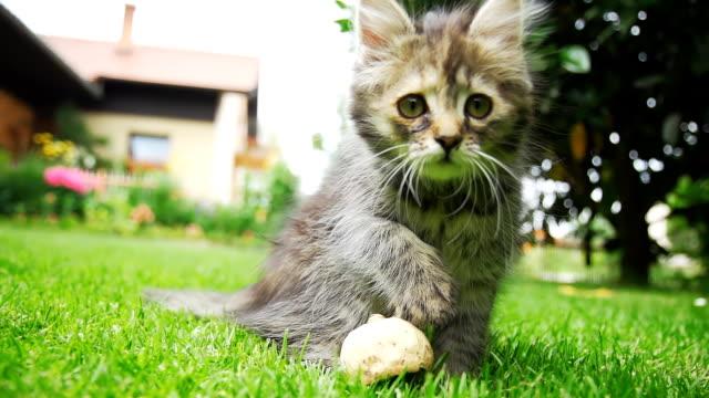 hd 超スローモーション: 好奇心の強いキトンの芝生 - 子猫点の映像素材/bロール