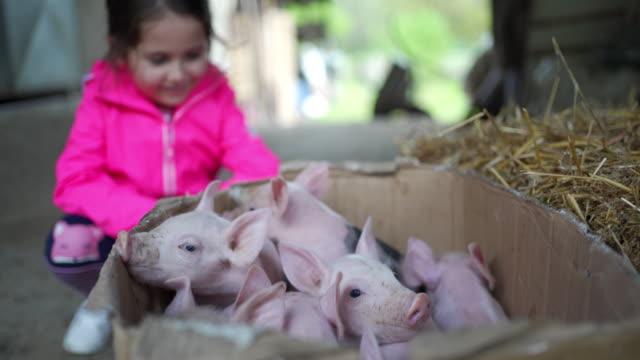 牧場の段ボール箱で生まれたばかりの豚を見ている好奇心旺盛な小さな女の子 - 子豚点の映像素材/bロール