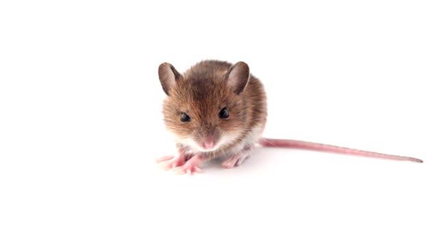 curious little mouse sniffing - kemirgen stok videoları ve detay görüntü çekimi