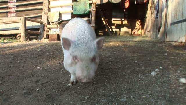 HD: Curious little pig video