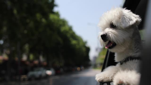 neugierige maltesische hund guckt durch autofenster und schaut sich um - dog car stock-videos und b-roll-filmmaterial