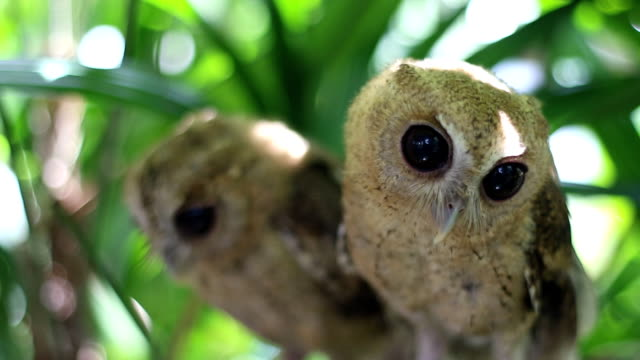 Curious of Collared scops owl video