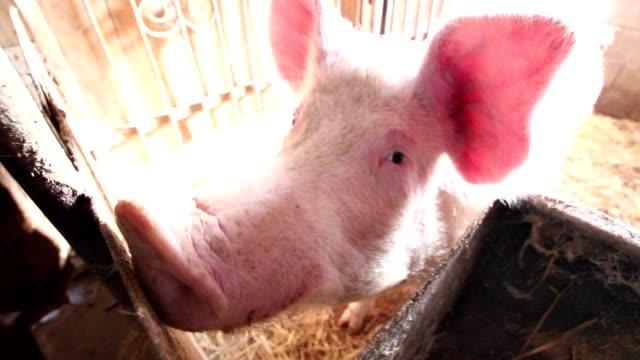 Curious pig video