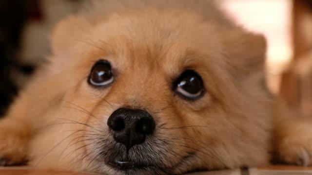 vidéos et rushes de chien poméranien curieux - tête d'un animal