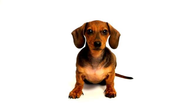 HD - Curious puppy dachshund video