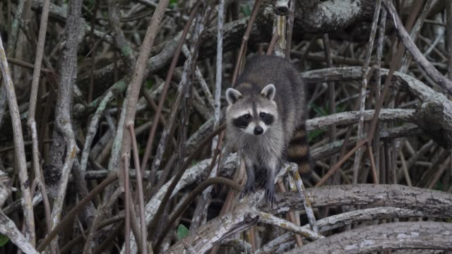 Curious racoon observing tourists at Everglades National Park