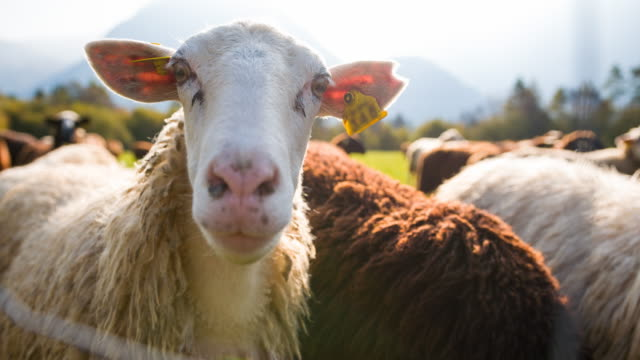 Curious sheep looking at camera, while others grazing on pasture video