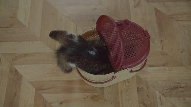 vídeos de stock e filmes b-roll de curious spotted domestic cat getting in pet carrier - going inside eye