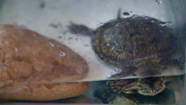Curious turtle in a glass aquarium