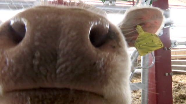 Curious White Cow Sniffing Camera video
