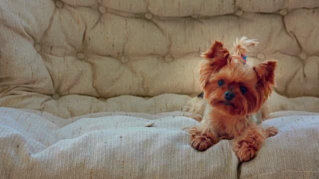 vídeos de stock e filmes b-roll de curious yorkshire terrier on the sofa - cabelo comprido
