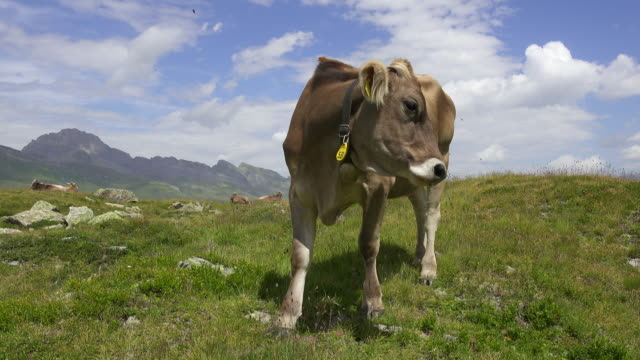 Curious Young Cow on Swiss Mountain Alp video