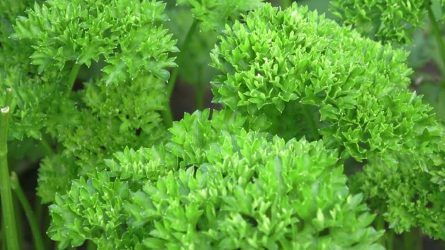 Curly parsley leaves closeup in the garden (Petrosalinum sativum) Curly parsley leaves closeup in the garden (Petrosalinum sativum) parsley stock videos & royalty-free footage