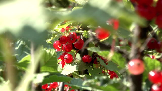 ribes - ribes rosso video stock e b–roll