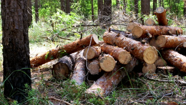 Cut Logs are Stacked in a Forest video