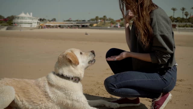 Cute adult labrador giving paw to owner on sandy beach.