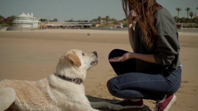 cute adult labrador giving paw to owner on sandy beach. - łapa filmów i materiałów b-roll