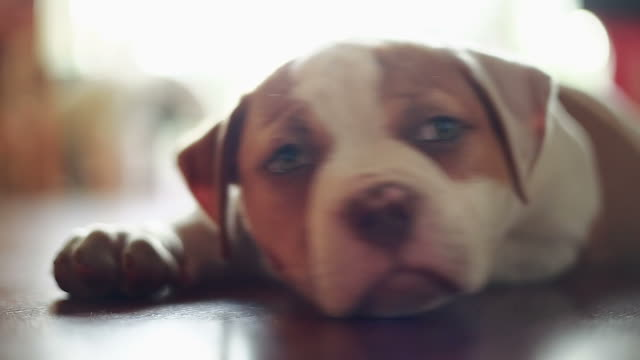 Cute American Bulldog laying down and playing with camera video