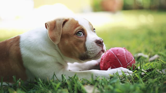 Cute American Bulldog puppy playing with red ball on the grass video