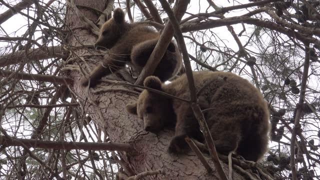 sevimli ve sevimli bebek kahverengi ayı cubs ağaç tırmanma - kuzey amerika stok videoları ve detay görüntü çekimi