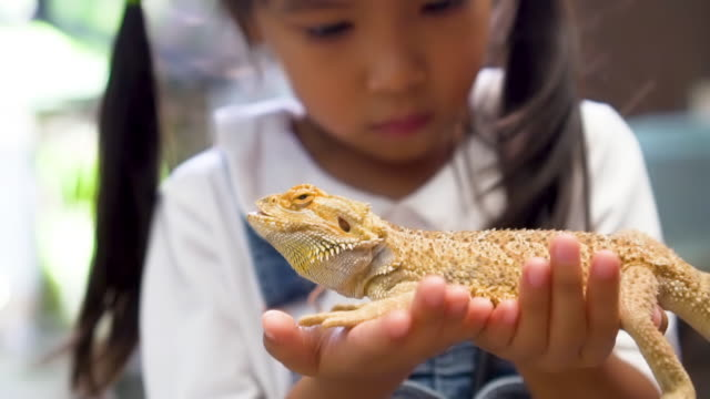 Cute asian child holding and playing with chameleon Cute asian child holding and playing with chameleon. She is not scared to hold it on hand. Concept of self learning and love animal lifestyle. reptile stock videos & royalty-free footage