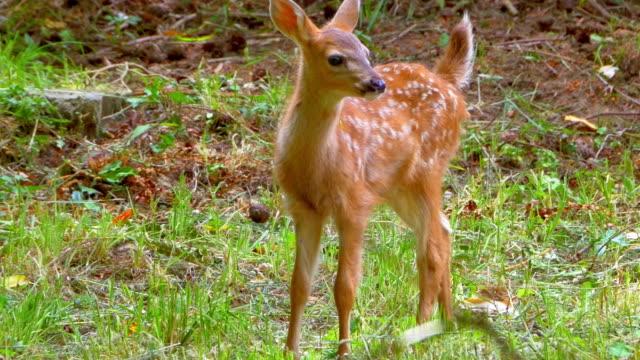 cute baby deer fawn w green grass meadow na wiosnę - jelonek filmów i materiałów b-roll