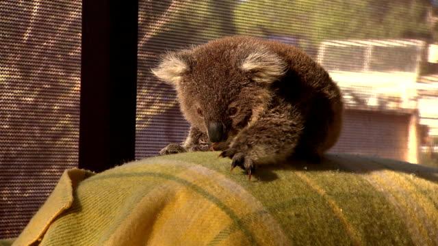 Cute baby Kangaroo - Australia video