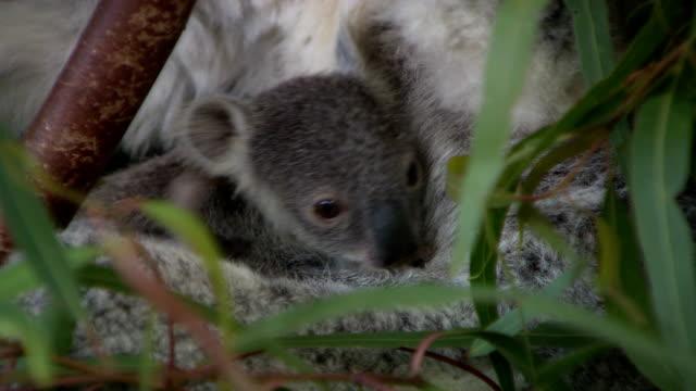 Cute baby koala in a tree