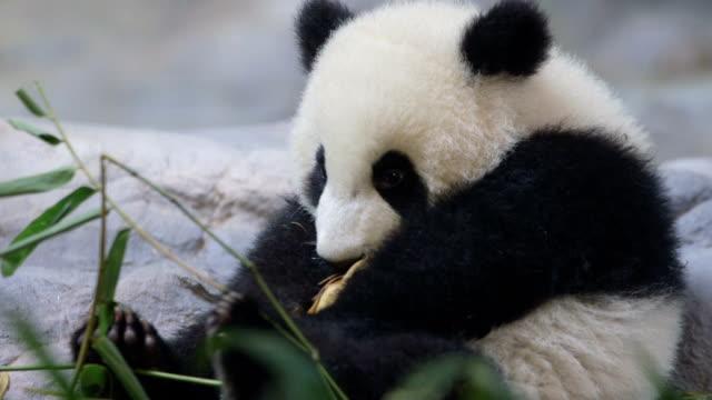 cute baby panda video