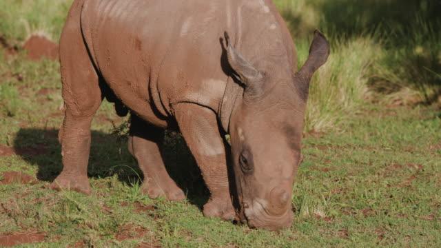 cute baby white rhino grazing in the bushveld - soltanto un animale video stock e b–roll