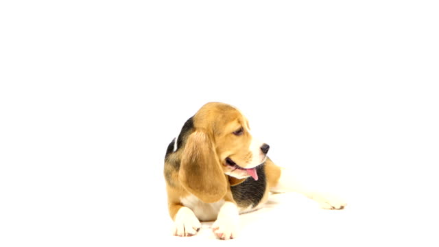 Cute Beagle Puppy over white background. close up video